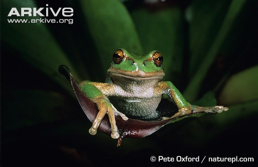 Riobamba marsupial frog  (Gastrotheca riobambae)