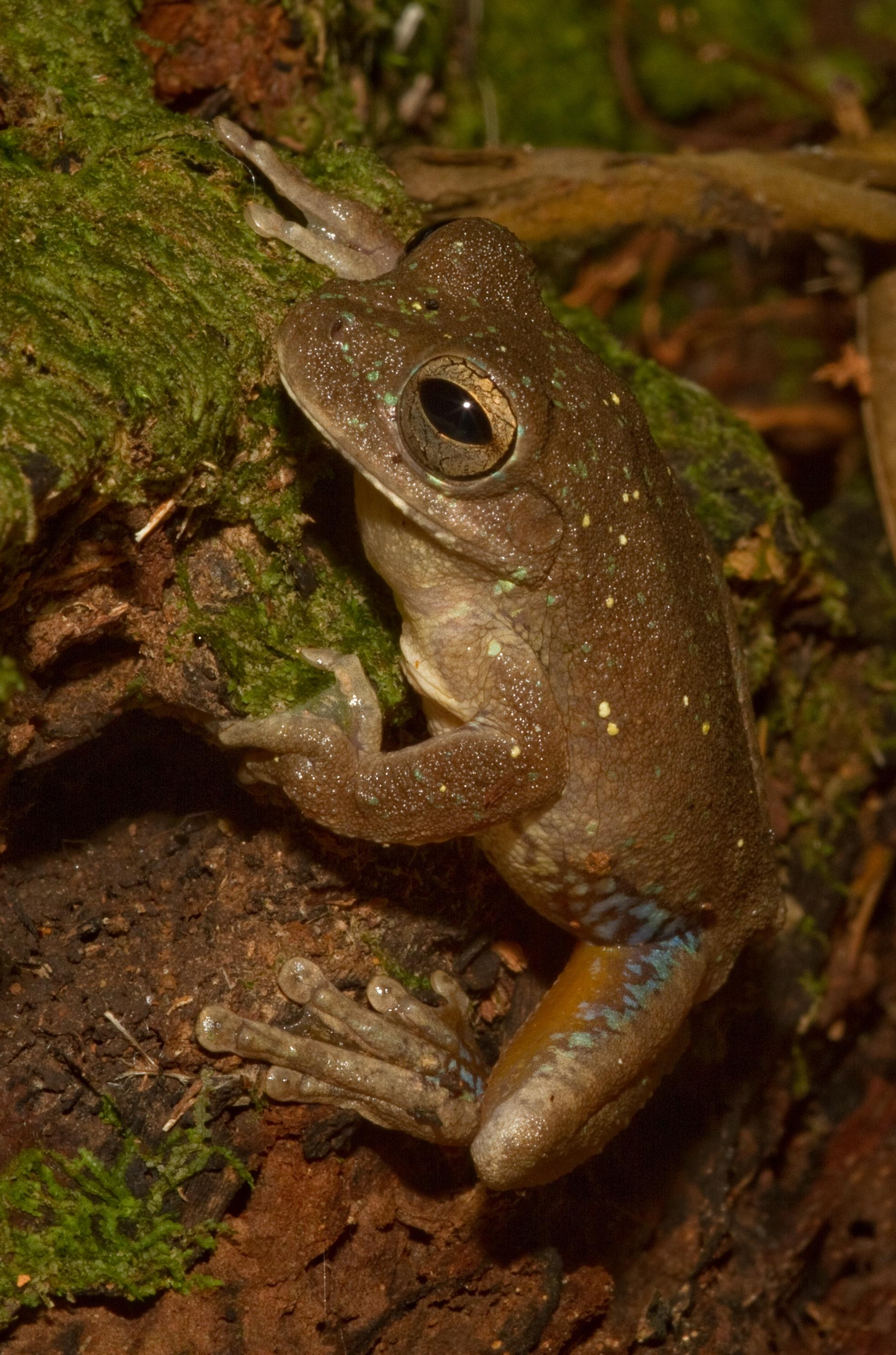 Panama cross-banded treefrog (Simlisca sila)