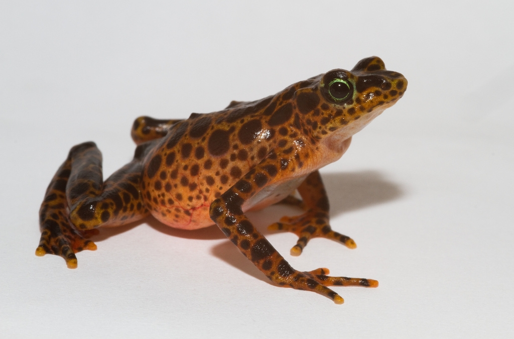 Toad Mountain harlequin frog (Atelopus certus)