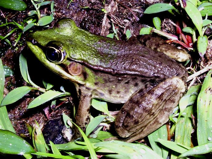 Vaillant's frog (Rana vaillanti)