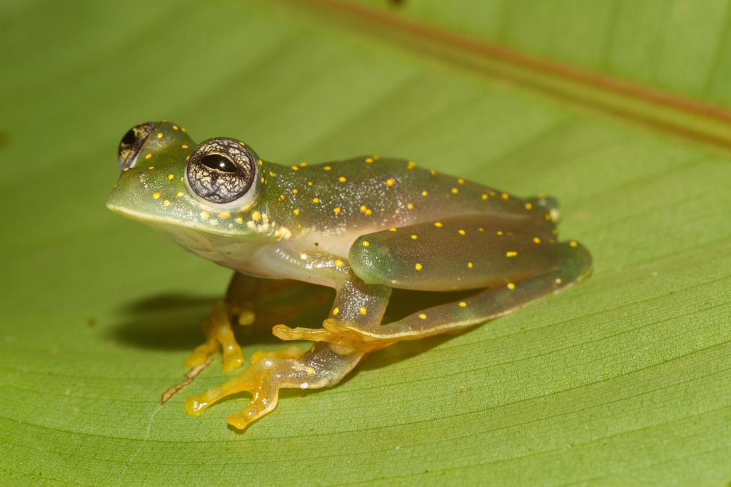 Yellow-flecked glass frog (Cochranella albomaculata)