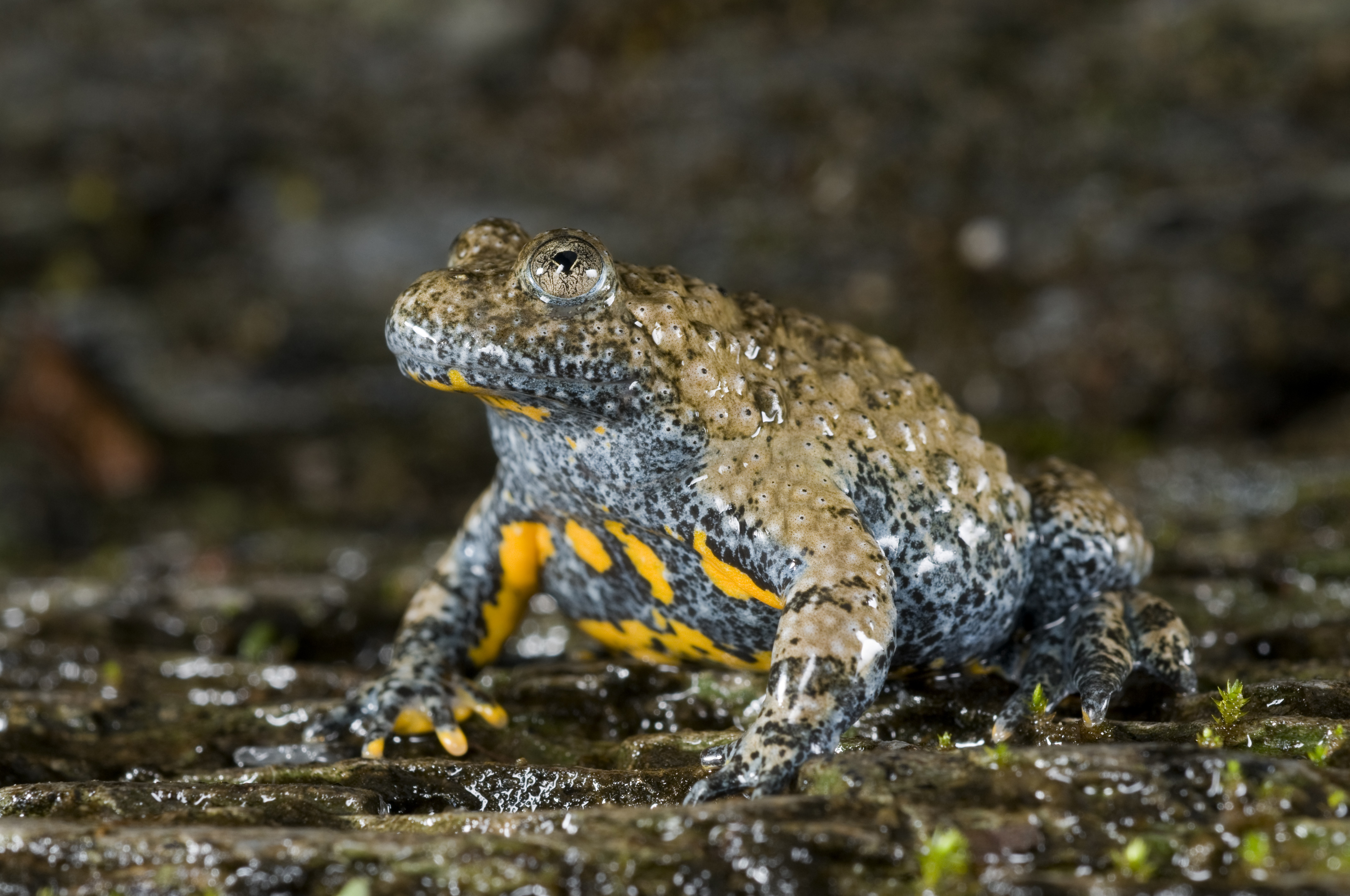 Appenine yellow-bellied toad (Bombina pachypus)