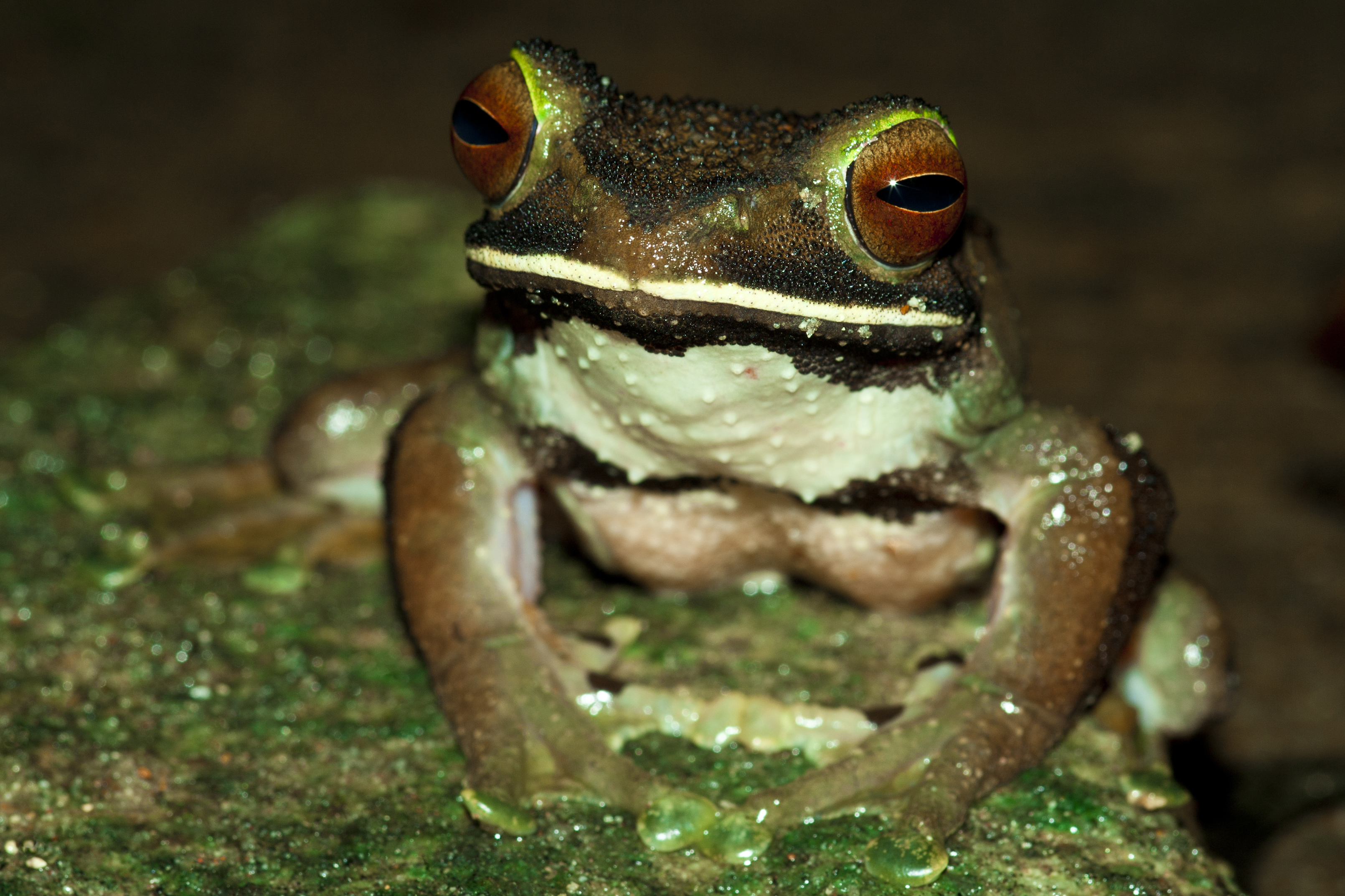 Bright eyed frog (Boophis albilabris)