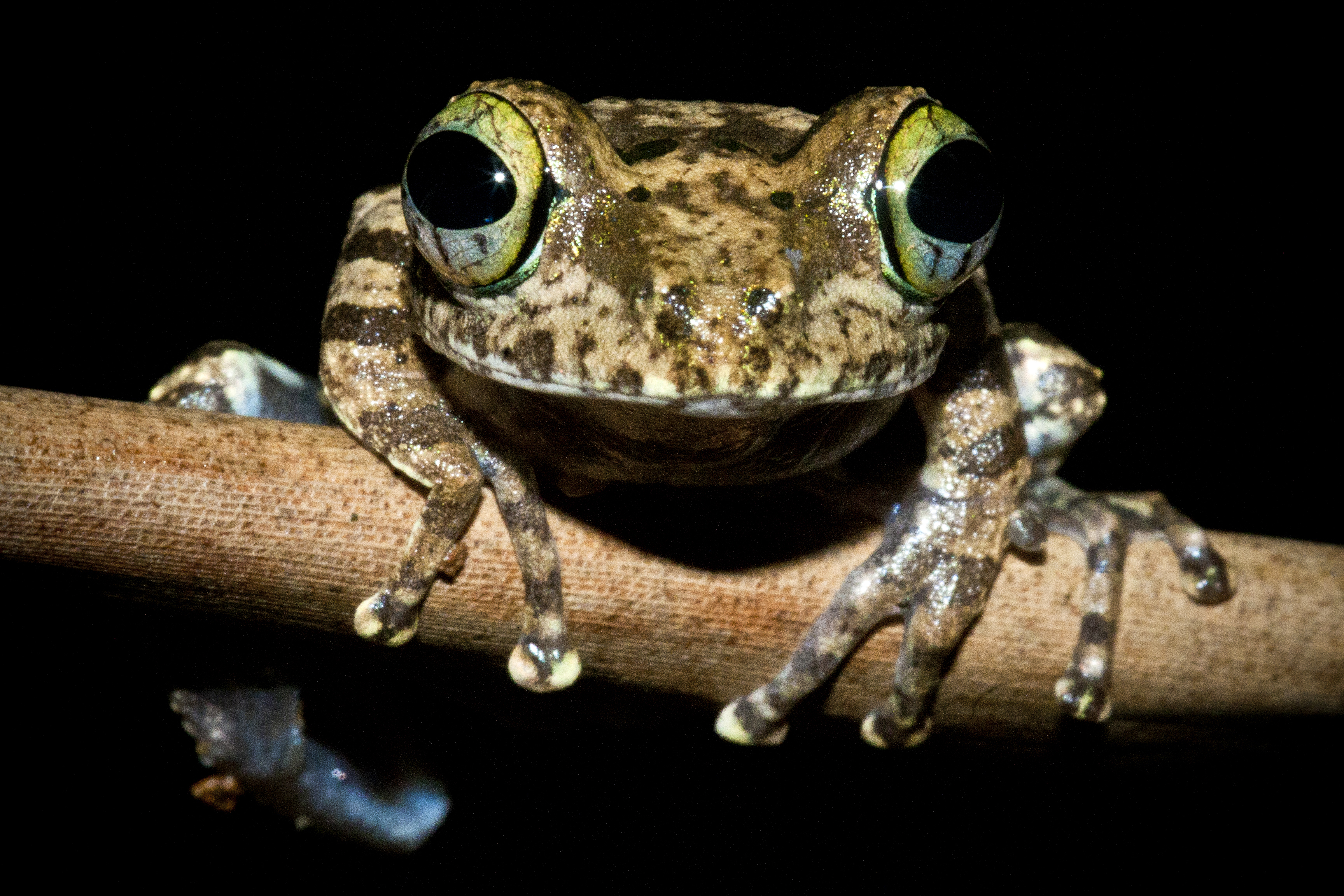 Bright-eyed frog (Boophis calcaratus)