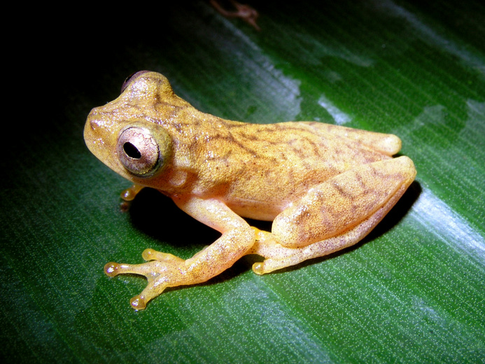 San Carlos tree frog (Dendropsophus phlebodes)