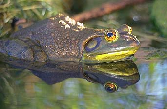 American bullfrog (Rana catesbeiana)